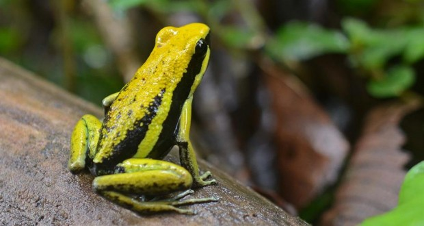 Flickr_-_ggallice_-_Pleasing_poison_frog