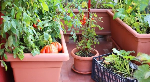 plants of red tomatoes and zucchini in the big pots of an urban garden in the balcony of the house in the city