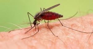 miris-malarije-kobna-privlacnost_BvR0hS